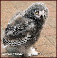 The Cute Baby Owl Turned Out to be a Little Girl (Dysartian) Tags: baby cute scotland fife perthshire feathers fluffy raptor owl snowyowl kirkcaldy dysart aberfoyle owlet naturesfinest perthandkinross digitalcameraclub impressedbeauty goldstaraward dysartian saltirefalconry scottishwoolcentre babysnowyowl thewonderfulworldofbirds