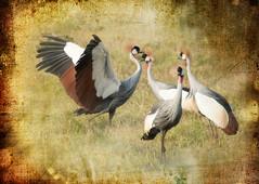 royal dance (JuttaMK) Tags: africa texture by bravo kenya overlay cranes crested habanero conservancy crowned lewa mywinners flicksbest leschick