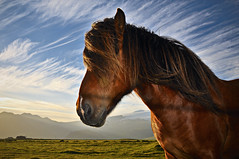 Icelandic horse in the midinght sun. (Siggidri) Tags: sunset sky horses horse sun mountains field grass fence iso100 iceland glacier fields gras 2008 sland midnightsun f9 lightroom sl himinn jkull slarlag eyjafjallajkull hestar hestur fjll 1250s southiceland 26mm explored eyjafjll mintursl lambafell giring tn eyvindarhlar nikond300 isospeed100 capturenx2 20080614 austureyjafjll 211449
