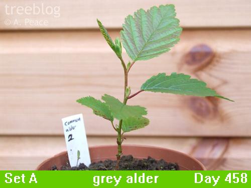 grey alder No. 2