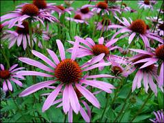 pink (helena.e) Tags: pink flower gmt flowerotica mywinners helenae wonderfulworldofflowers rubyphotographer helenab