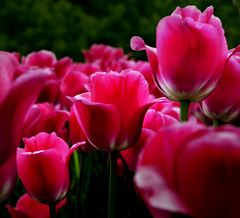 Tulips (Vince Alongi) Tags: flowers red nature interesting nikon explore tulip d200 soe cubism naturesfinest 1on1flowers golddragon mywinners platinumphoto anawesomeshot ultimateshot citrit flowerwatcher brillianteyejewel overtheexcellence 1on1flowersphotooftheweek theperfectphotographer goldstaraward rubyphotographer 1on1flowersphotooftheweekseptember2008