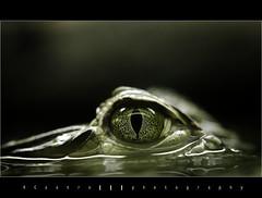 Join me..... (RCastro) Tags: eye fauna ojo bravo reptile portfolio bec dreamcatcher reptil onblack themoulinrouge blueribbonwinner cool