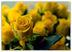 Yellow Flowers ... (Bally AlGharabally) Tags: flower sunshine yellow dof friendship happiness rai kuwaiti bally gharabally algharabally