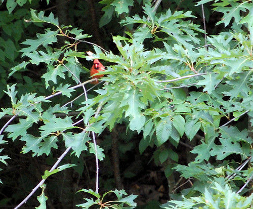 Cardinal Along Pine Creek Trail