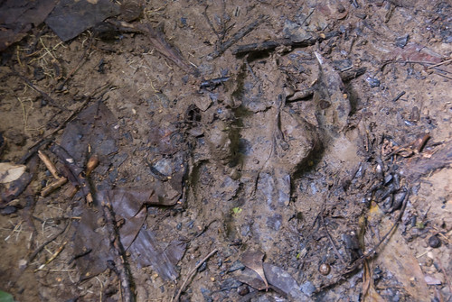 Cassowary Claw Print in the Mud