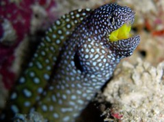 Moray Eel (hirosh!ndia) Tags: blue sea fish nature coral aka underwater tropical scubadiving okinawa kerama nishibama hanabirautsubo