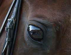 The Eye (ginfox) Tags: horse brown eye hair straps buckles equine bridle saddlebred eyereflection