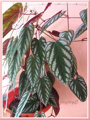 Our potted Cissus discolor (Rex Begonia Vine, Trailing/Climbing Begonia) in January 2008