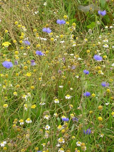 Cornfield Wildflower Meadow