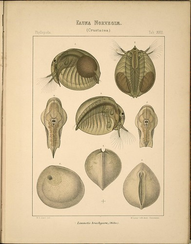 Limnetis brachyura