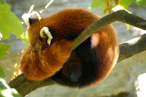 Panda rojo Firefox logo