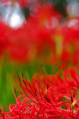 Fiery Red / HBW!!! (bluehazyjunem) Tags: autumn red spider early lily 2008 passionate naturesfinest kinchakuda supershot hbw abigfave platinumphoto infinestyle flickersbest overtheexcellence colourartaward platinumheartaward goldstaraward macroflowerlovers natureselegantshots awesomeblossoms