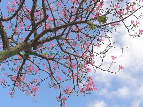 你拍攝的 藍天映襯粉紅花。