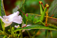 Overdrawing Grace (maraculio) Tags: city white flower green art garden photo nikon dof bokeh grace grasshopper mm 1855 heights marikina aplusphoto d40x natureselegantshots maraculio overdrawing