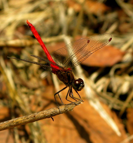 autumn darter ...