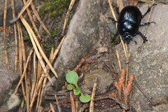 Dor Beetle (mclarenjk) Tags: wood uk forest beetle wal tinternabbey tintern monmouthshire bbcwalesnatureinvertebrates