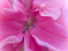 (_Zahira_) Tags: pink flower macro lafotodelasemana flor cancer rosa olympus nd breastcancer e500 uro 100vistas 35mmmacro flowerotica ltytrx5 ltytr2 ltytr1