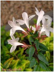 """Campanillas (Alicia Salvador """"Nube gris""""""""Ausente temporalmente"""") Tags: flores jardin coolpix tarragona s500 campanillas cespéd masfolch"""
