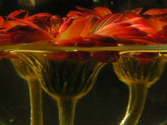 Underwater Flowers (_David_Meister_) Tags: light red flower green rot water licht wasser underwater grn blume unterwasser watersurface waterlevel wasserspiegel aplusphoto