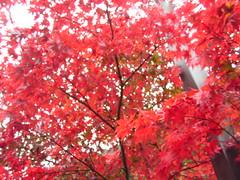 イロハモミジ 深紅 檜原都民の森