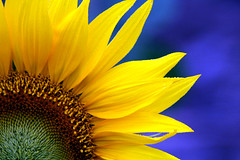 Girassol - Sunflower (Helianthus annuus) (claudio.marcio2) Tags: flower nature natureza flor sunflower shiningstar girassol aclass naturelovers takeabow wonderfulnature naturesfinest sobeautiful fantasticflower godnature flowerpowergroup colorphotoaward top20yellow freenature photostosmileabout eperkeaward naturewatcher macromix allnicethink superamazingshotsaward macroflowerlovers goldsealofqualityaward natureselegantshots atravsdaminhalentethroughmylens naturegreenstar
