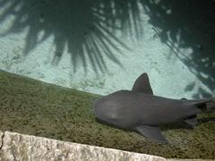 DSCN0730 (Susan M. Hill) Tags: shark babyshark excaret cancunmexico