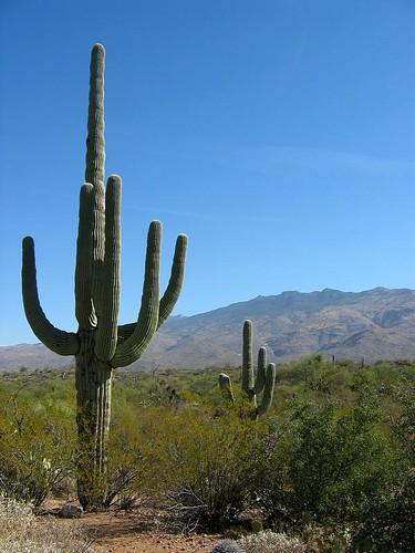 saguaro-15
