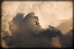Away from the Storm (josefrancisco.salgado) Tags: sky usa cloud chicago bird fauna clouds illinois nikon unitedstatesofamerica ave cielo nubes nikkor nube pjaro northerlyisland 12thstreetbeach d80 18135mmf3556g illinoisthunderstorms