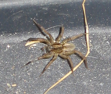 A brown spider in the basement, crawling around near the back door on the boot rack.