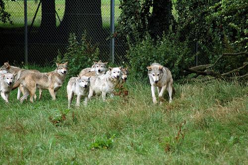wolf pack Harlequeen