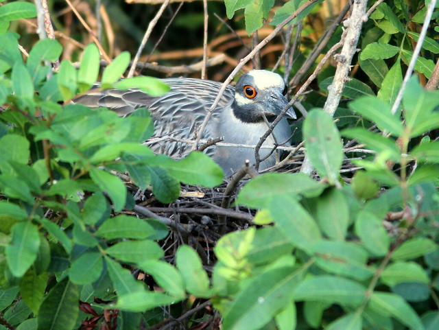 Yellow-crowned Night-Heron on nest 20110526