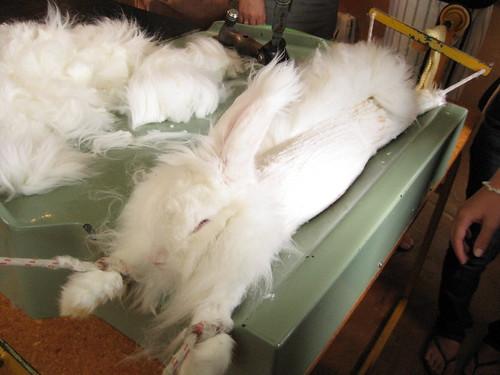 Hare Shearing close up@ Waitomo