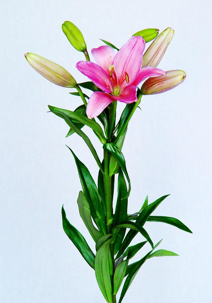 The world 39 s best photos of azucenas and colores flickr - Fotos de rosas de colores ...