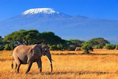 Mega Nature (| HD |) Tags: africa mountain elephant tree 20d kilimanjaro animal canon landscape mt kenya wildlife safari hd darwish hamad alemdagqualityonlyclub highqualityanimals