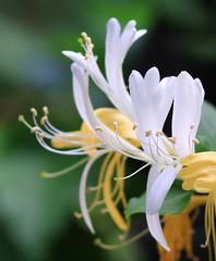 Milk & Honey (Mike@llen) Tags: flower macro nature honeysuckle platinumheartaward