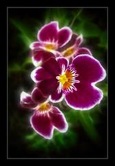 Beauty (CW61) Tags: orchid flower hannover orchidee blume niedersachsen herrenhäusergärten berggarten fineartphotos diamondclassphotographer flickrdiamond bratanesque theperfectphotographer multimegashot