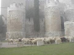 Ovellas na néboa (Taboada Testa.) Tags: green tower castle grass fog sheep flock castelo torreon niebla castillo oveja torres palencia hierba rebaño castillayleón herba ovella neboa ampudia