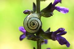 Salvia and Snail (David Lev) Tags: plants snail salvia mygarden blueribbonwinner nirim anawesomeshot ultimateshot diamondclassphotographer flickrdiamond flickrelite photostosmileabout notyournormalbug