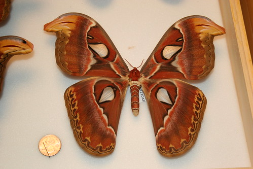 Huge Moth and a Quarter.JPG