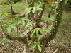 97.05.22平和國小吉貝木棉老樹DSCN0719