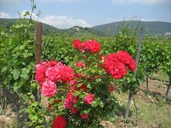 Blick auf die Kropsburg (Bibendum41) Tags: stmartin rosen weinberge kropsburg