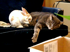 Rabbit and cat LOVE (dora_marie) Tags: music cats cute rabbit love june cat fun juin video chats funny chat nap friendship conejo awesome papas adorable mamas julio siesta rabbits cuteness 2008 oldie lapin minou overload interspecies lapins conejos instantfave interspecy