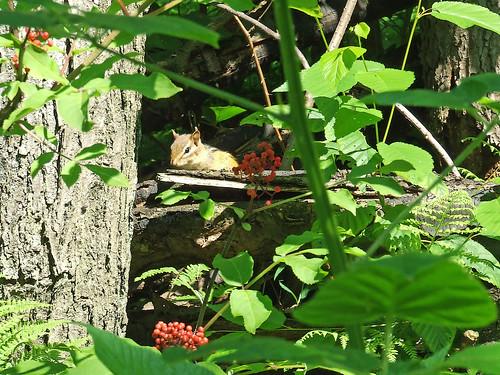 chipmunk with red elderberry
