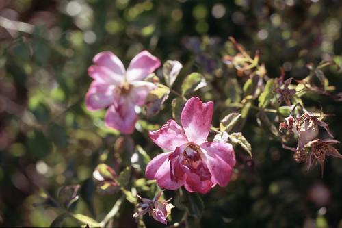 Flowers (Astia:001:07)