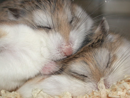 Squashed! by roborovski hamsters.
