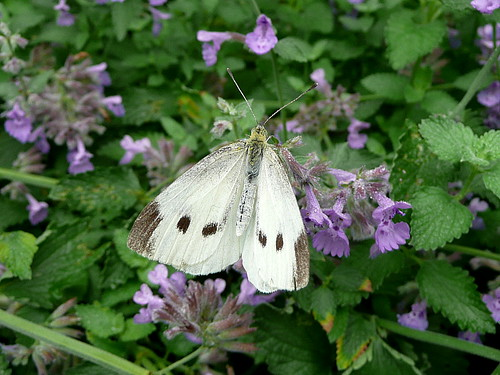 Moth on mint