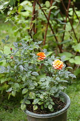 ジュピターの二番花