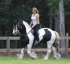 San riding D'Jango (The Pelton Vanners Gypsy Vanner Horses) Tags: blue horses eyed gypsyvanner gypsyhorse gypsycob