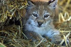 New Baby (Megan Lorenz) Tags: baby cute nature animal closeup cat mammal outdoors kitten feline wildlife young wildcat lynx specanimal junglecatworld impressedbeauty